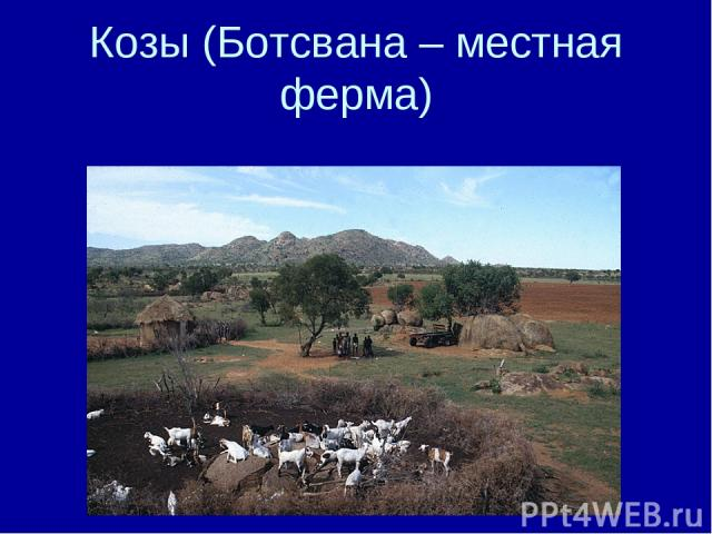 Козы (Ботсвана – местная ферма)