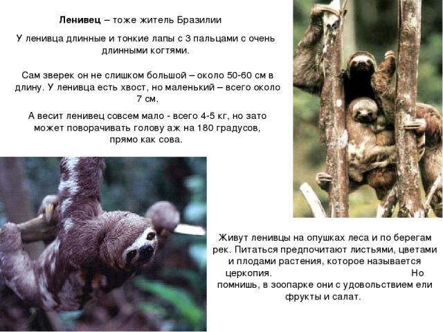 Ленивец – тоже житель Бразилии У ленивца длинные и тонкие лапы с 3 пальцами с очень длинными когтями. Сам зверек он не слишком большой – около 50-60 см в длину. У ленивца есть хвост, но маленький – всего около 7 см. А весит ленивец совсем мало - все…