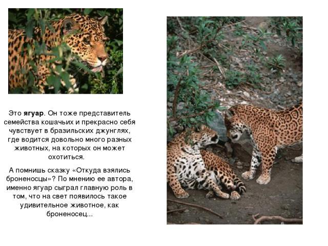 Это ягуар. Он тоже представитель семейства кошачьих и прекрасно себя чувствует в бразильских джунглях, где водится довольно много разных животных, на которых он может охотиться. А помнишь сказку «Откуда взялись броненосцы»? По мнению ее автора, имен…