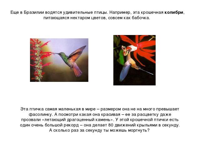Еще в Бразилии водятся удивительные птицы. Например, эта крошечная колибри, питающаяся нектаром цветов, совсем как бабочка. Эта птичка самая маленькая в мире – размером она не на много превышает фасолинку. А посмотри какая она красивая – ее за расцв…