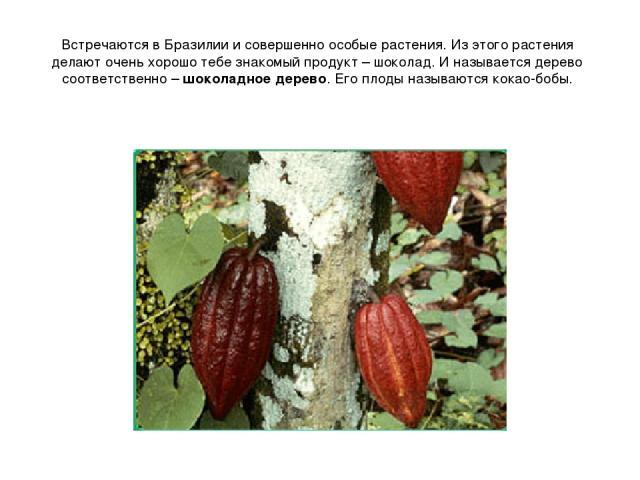 Встречаются в Бразилии и совершенно особые растения. Из этого растения делают очень хорошо тебе знакомый продукт – шоколад. И называется дерево соответственно – шоколадное дерево. Его плоды называются кокао-бобы.