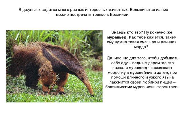 В джунглях водится много разных интересных животных. Большинство из них можно постречать только в Бразилии. Знаешь кто это? Ну конечно же муравьед. Как тебе кажется, зачем ему нужна такая смешная и длинная морда? Да, именно для того, чтобы добывать …