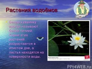 Растения водоёмов Белую кувшинку иногда называют белой лилией. Корни этих растен