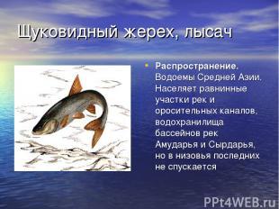 Щуковидный жерех, лысач Распространение. Водоемы Средней Азии. Населяет равнинны