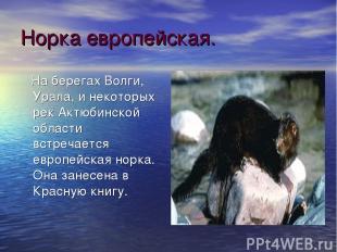 Норка европейская. На берегах Волги, Урала, и некоторых рек Актюбинской области