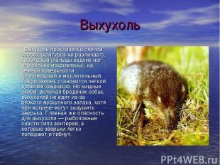 Выхухоль Выхухоль практически слепой зверек (контуров не различает), косолапый (
