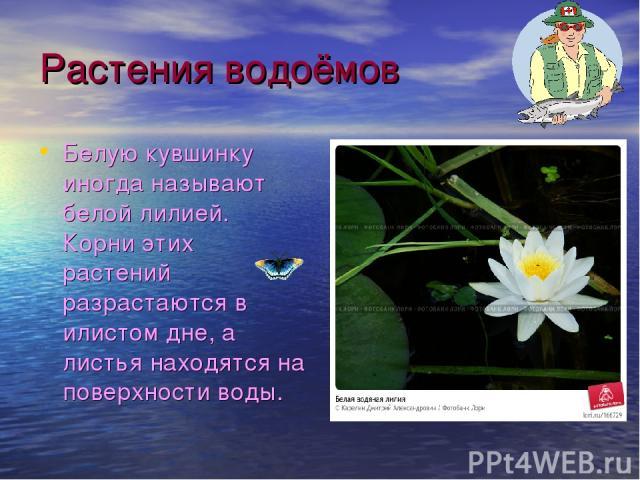 Растения водоёмов Белую кувшинку иногда называют белой лилией. Корни этих растений разрастаются в илистом дне, а листья находятся на поверхности воды.