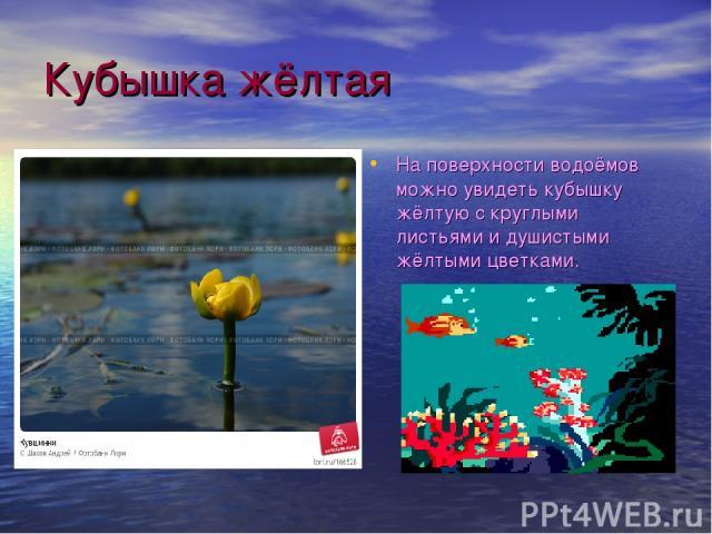 Кубышка жёлтая На поверхности водоёмов можно увидеть кубышку жёлтую с круглыми листьями и душистыми жёлтыми цветками.