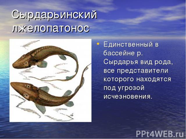 Сырдарьинский лжелопатонос Единственный в бассейне р. Сырдарья вид рода, все представители которого находятся под угрозой исчезновения.
