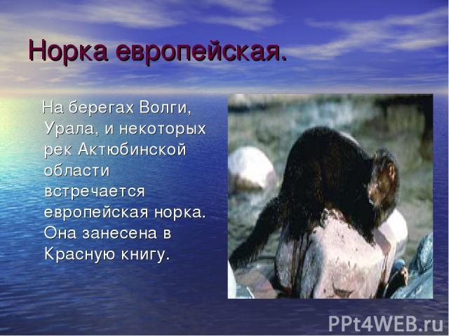 Норка европейская. На берегах Волги, Урала, и некоторых рек Актюбинской области встречается европейская норка. Она занесена в Красную книгу.