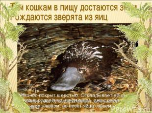 Утконос покрыт шерстью. Откладывает яйца как обычная утка, а выкармливает детёны