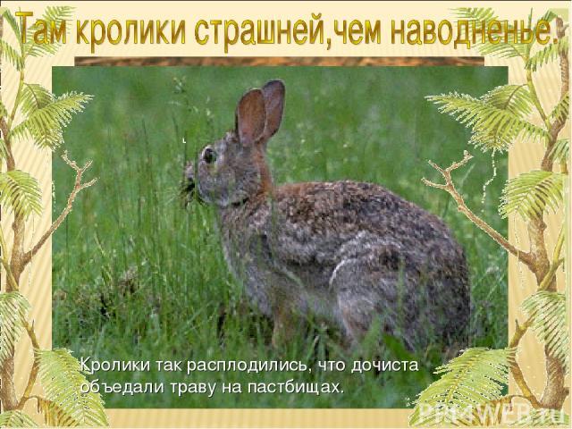 Кролики так расплодились, что дочиста объедали траву на пастбищах.