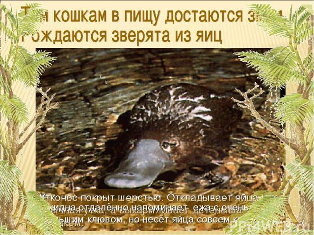 Утконос покрыт шерстью. Откладывает яйца как обычная утка, а выкармливает детёныша молоком. Ехидна отдалённо напоминает ежа с очень большим клювом, но несёт яйца совсем как птица.