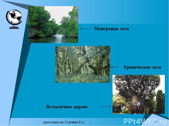преподаватель: Головина Е.А. * Мангровые леса Тропические леса Бутылочное дерево преподаватель: Головина Е.А.