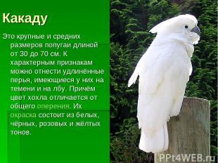 Какаду Это крупные и средних размеров попугаи длиной от 30 до 70 см. К характерн