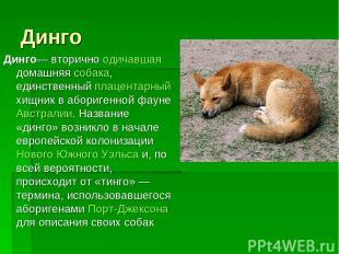 Динго Динго— вторично одичавшая домашняя собака, единственный плацентарный хищни
