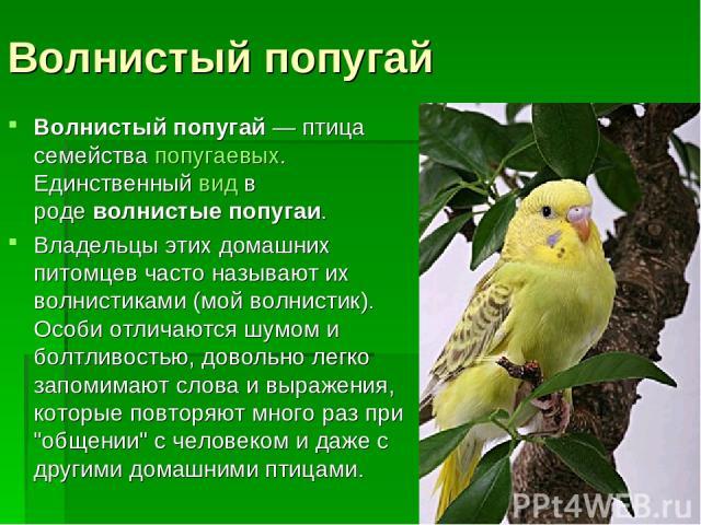 Волнистый попугай Волнистый попугай— птица семействапопугаевых. Единственныйвидв родеволнистые попугаи. Владельцы этих домашних питомцев часто называют их волнистиками (мой волнистик). Особи отличаются шумом и болтливостью, довольно легко запом…