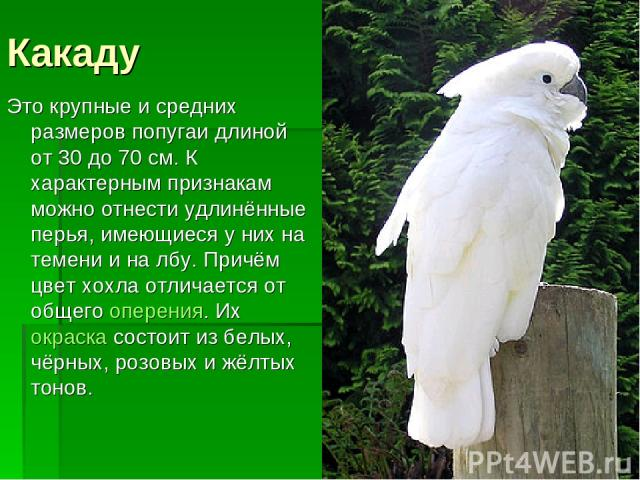 Какаду Это крупные и средних размеров попугаи длиной от 30 до 70 см. К характерным признакам можно отнести удлинённые перья, имеющиеся у них на темени и на лбу. Причём цвет хохла отличается от общегооперения. Их окраскасостоит из белых, чёрных, ро…