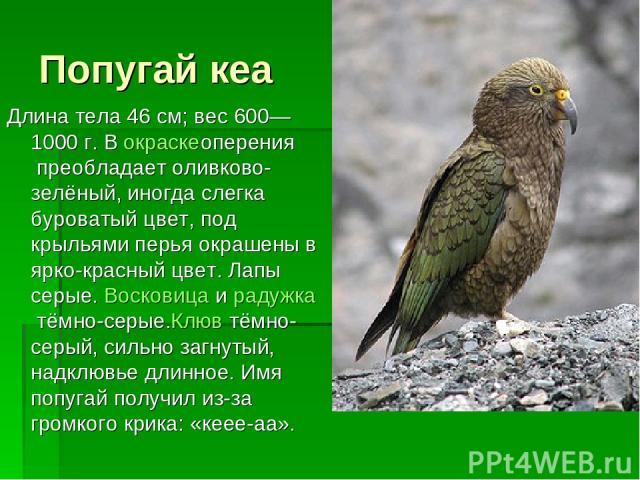 Попугай кеа Длина тела 46 см; вес 600—1000 г. Вокраскеоперенияпреобладает оливково-зелёный, иногда слегка буроватый цвет, под крыльями перья окрашены в ярко-красный цвет. Лапы серые.Восковицаирадужкатёмно-серые.Клювтёмно-серый, сильно загнуты…
