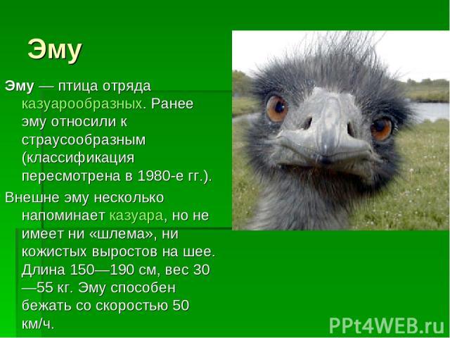 Эму Эму— птица отряда казуарообразных. Ранее эму относили к страусообразным (классификация пересмотрена в 1980-е гг.). Внешне эму несколько напоминает казуара, но не имеет ни «шлема», ни кожистых выростов на шее. Длина 150—190см, вес 30—55 кг. Эму…