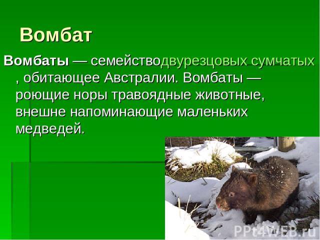 Вомбат Вомбаты— семействодвурезцовых сумчатых, обитающее Австралии. Вомбаты— роющие норы травоядные животные, внешне напоминающие маленьких медведей.