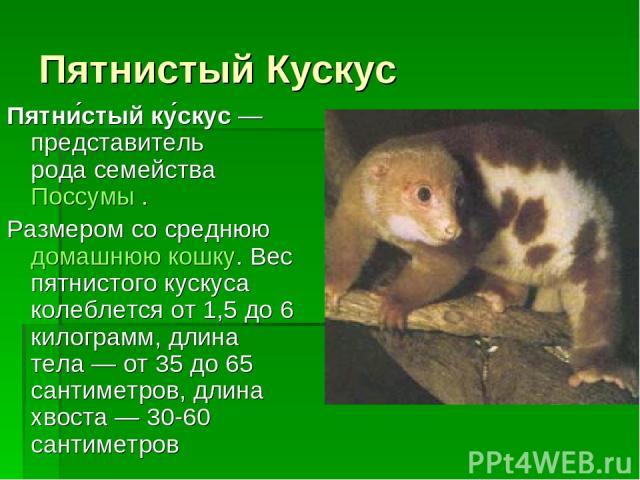 Пятнистый Кускус Пятни стый ку скус— представитель родасемействаПоссумы. Размером со среднююдомашнюю кошку. Вес пятнистого кускуса колеблется от 1,5 до 6 килограмм, длина тела— от 35 до 65 сантиметров, длина хвоста— 30-60 сантиметров
