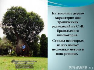 Бутылочное дерево характерно для тропических редколесий на С.-В. бразильского пл