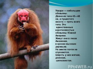 Уакари — небольшие обезьяны. Длина их тела 45—48 см, а пушистого хвоста — треть