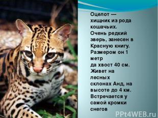 Оцелот — хищник из рода кошачьих. Очень редкий зверь, занесен в Красную книгу. Р