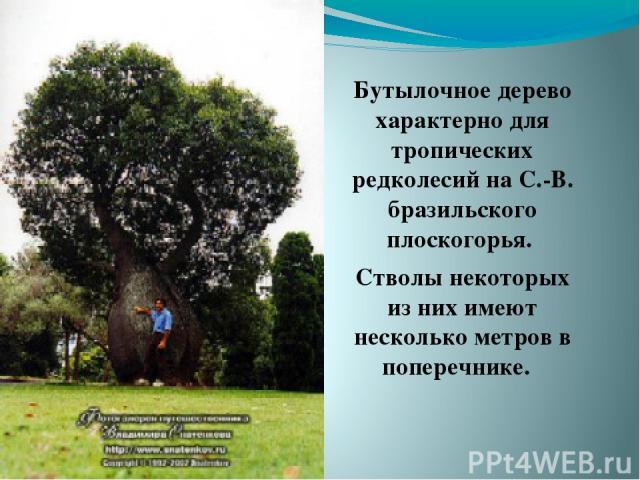 Бутылочное дерево характерно для тропических редколесий на С.-В. бразильского плоскогорья. Стволы некоторых из них имеют несколько метров в поперечнике.
