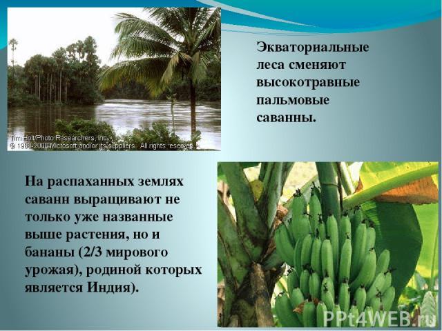 Экваториальные леса сменяют высокотравные пальмовые саванны. На распаханных землях саванн выращивают не только уже названные выше растения, но и бананы (2/3 мирового урожая), родиной которых является Индия).