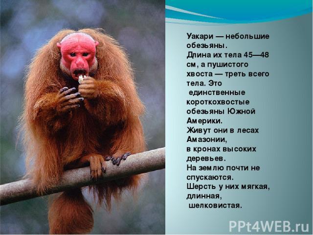 Уакари — небольшие обезьяны. Длина их тела 45—48 см, а пушистого хвоста — треть всего тела. Это единственные короткохвостые обезьяны Южной Америки. Живут они в лесах Амазонии, в кронах высоких деревьев. На землю почти не спускаются. Шерсть у них мяг…