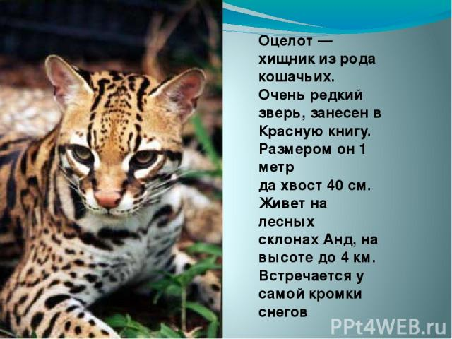 Оцелот — хищник из рода кошачьих. Очень редкий зверь, занесен в Красную книгу. Размером он 1 метр да хвост 40 см. Живет на лесных склонах Анд, на высоте до 4 км. Встречается у самой кромки снегов