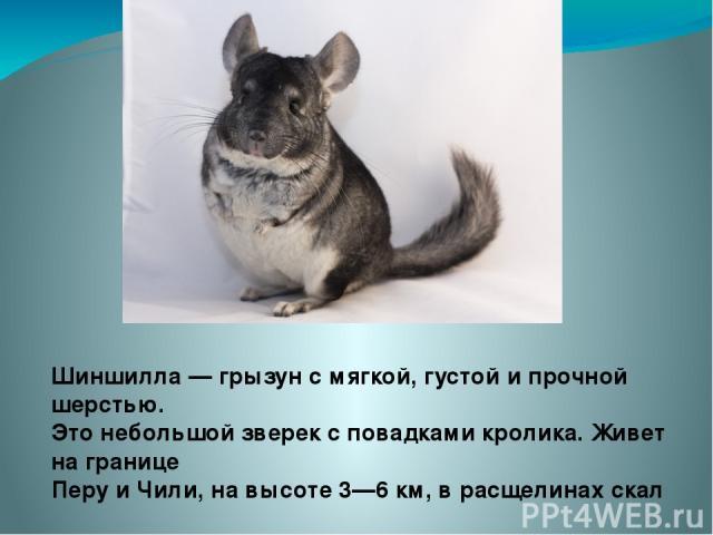 Шиншилла — грызун с мягкой, густой и прочной шерстью. Это небольшой зверек с повадками кролика. Живет на границе Перу и Чили, на высоте 3—6 км, в расщелинах скал