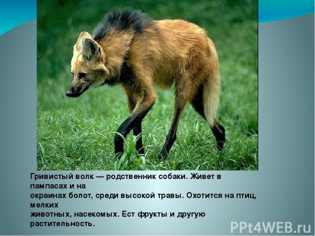 Гривистый волк — родственник собаки. Живет в пампасах и на окраинах болот, среди высокой травы. Охотится на птиц, мелких животных, насекомых. Ест фрукты и другую растительность.
