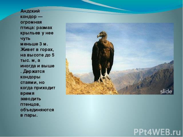Андский кондор — огромная птица: размах крыльев у нее чуть меньше 3 м. Живет в горах, на высоте до 5 тыс. м, а иногда и выше . Держатся кондоры стаями, но когда приходит время заводить птенцов, объединяются в пары.