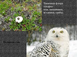Типичная флора тундры: мхи, лишайники, ягодники, грибы. Полярная сова