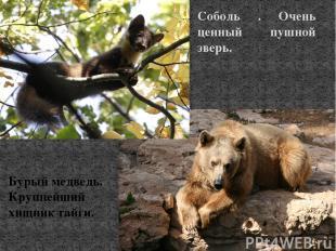 Соболь . Очень ценный пушной зверь. Бурый медведь. Крупнейший хищник тайги.