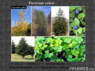 Растения тайги 1 — ель; 2 — пихта; 3 — лиственница; 4 — можжевельник; 5 — черник