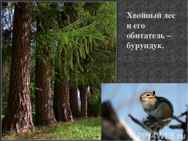 Хвойный лес и его обитатель – бурундук.