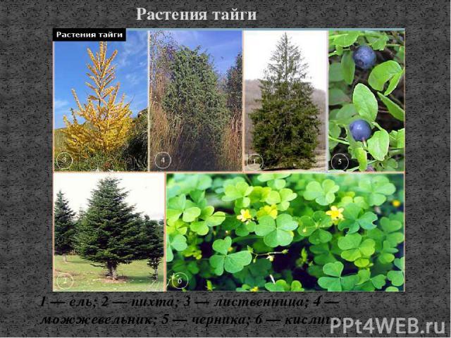 Растения тайги 1 — ель; 2 — пихта; 3 — лиственница; 4 — можжевельник; 5 — черника; 6 — кислица.