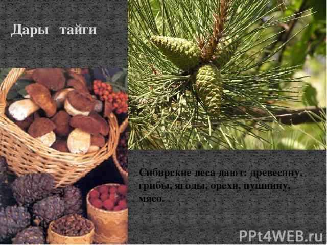 Дары тайги Сибирские леса дают: древесину, грибы, ягоды, орехи, пушнину, мясо.