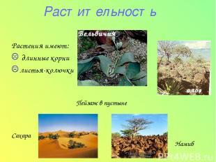 Растительность Растения имеют: длинные корни листья-колючки Вельвичия Пейзаж в п