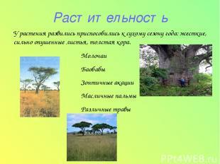 Растительность Молочаи Баобабы Зонтичные акации Масличные пальмы Различные травы