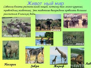 Животный мир Антилопы Гну Носорог Зебра Жираф Саванны богаты растительной пищей,