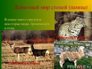 Пампасная кошка Животный мир степей (пампы) Пампасный олень Пампасная кошка В па