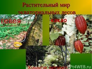 Растительный мир экваториальных лесов гевея какао Хинное дерево