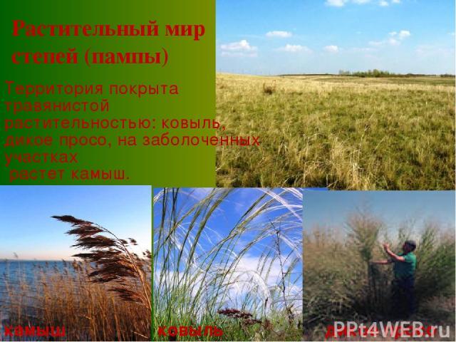 Территория покрыта травянистой растительностью: ковыль, дикое просо, на заболоченных участках растет камыш. камыш ковыль дикое просо Растительный мир степей (пампы)