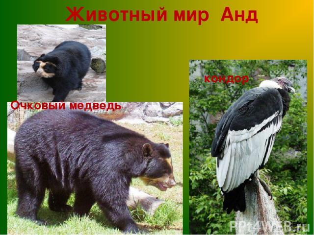 Животный мир Анд кондор Очковый медведь