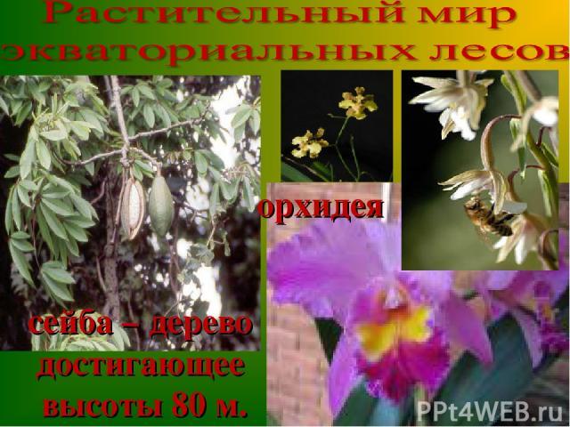 сейба – дерево достигающее высоты 80 м. орхидея